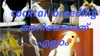 cockatiel breeding tips malayalam How to breed cockatiel bird Malayalam,കോക്കടയിൽബ്രീഡിങ് അറിയേണ്ടത്
