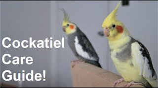 Cockatiel Care Guide | Everything You Need To Know! | BirdNerdSophie