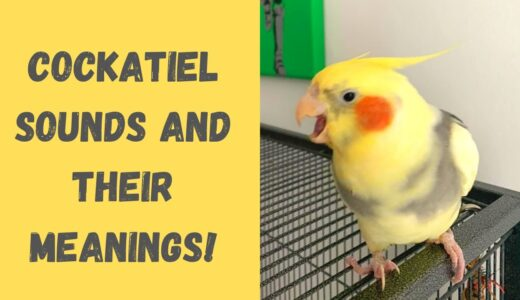 Cockatiel Sounds and Their Meanings! | Parrot Behaviour | WarGamingParrot