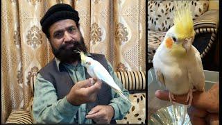 How to Tame Parrot | My HandTamed Cockatiel | Urdu/Hindi | Lodhi Birds