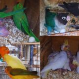 Lovebirds Mutation Creamino | Green Opaline | Cockatiel | Ringneck | Dove | Java | Setup