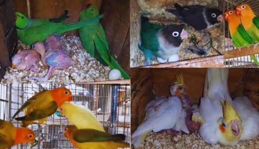 Lovebirds Mutation Creamino | Green Opaline | Cockatiel | Ringneck | Dove | Java | Setup
