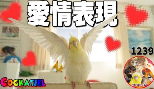 オカメインコの愛情表現はこんなにも優しくて可愛いんです|鳥との暮らし動画 Cute Cockatiel 1239