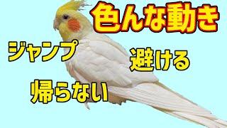 オカメインコのおもしろかわいい動きと羽繕いの豆知識【cockatiel】