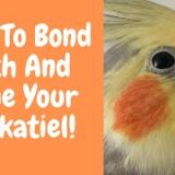 How To Bond With And Tame Your Cockatiel | Parrot Behaviour | WarGamingParrot