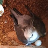 Cockatiel Breeding Cage Setup |V2BIRDS|