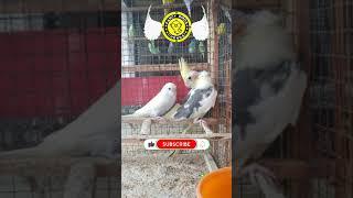 Cockatiel & Budgies Chicks | #Shots | Fancy Birds Chennai