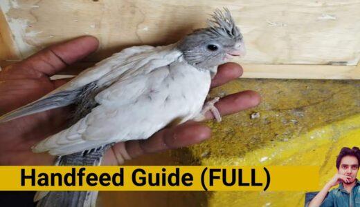 How to breed cockatiels PART 34 Hindi Urdu | Cockatiel breeding solutions | handfeed full guide