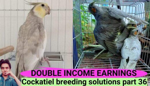 How to breed cockatiels PART 36 Hindi Urdu | Cockatiel breeding solutions tips and tricks