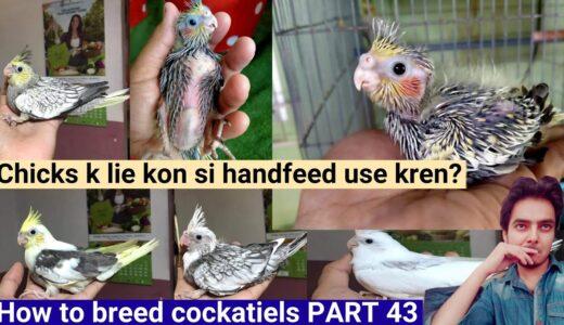 How to breed cockatiels PART 43 Hindi Urdu | Cockatiel breeding solutions | Chicks handfeed