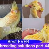 How to breed cockatiels PART 44 Hindi Urdu | Cockatiel Breeding Solutions | AHSAN PETs
