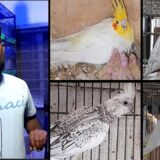 Interview of Customer Purchasing Cockatiel Pairs | 13/07/2021 | Urdu/Hindi | Lodhi Birds