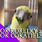 Nejlepší TikTok korelky kompilace  / Cockatiel Best Tiktok Compilation │KorelyEu