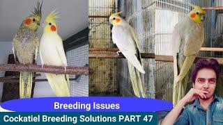 How to breed cockatiels PART 47 in Hindi Urdu | Cockatiel breeding solutions | AHSAN PETs