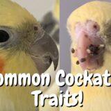 Cockatiel Behaviour | Common Cockatiel Traits | WarGamingParrot