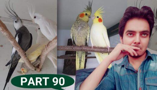 how to breed cockatiels PART 90 hindi urdu   Cockatiel Breeding Solutions   AHSAN PETs