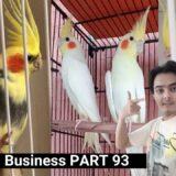 how to breed cockatiels PART 93 Hindi Urdu | Cockatiel Breeding Solutions | AHSAN PETs