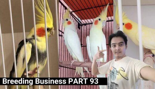 how to breed cockatiels PART 93 Hindi Urdu   Cockatiel Breeding Solutions   AHSAN PETs