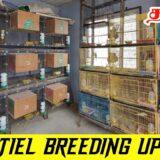 Cockatiel Breeding Pairs Updates On This 2021 Year End | தமிழில் | Fancy Birds Chennai