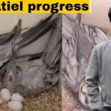 How to breed cockatiels PART 118 Urdu Hindi | Cockatiel Breeding Solutions | AHSAN PETs